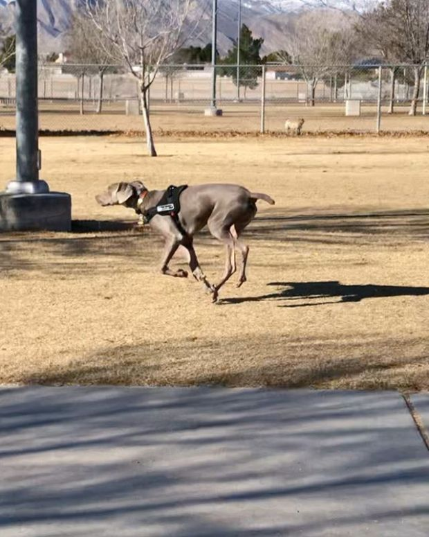 """My boi. He turns 7 months tomorroz (December 29th) and has been great with recall at the dog park! In this instance, @sterlingd.weim went to say """"hi"""" to the Great Dane and then returned to where I was supposed to be waiting... He didn't know that I was close by. Obvs he found me when I called his name 🤗 #puppychronicles #weimaraner #weimlove #dogsofinstagram"""