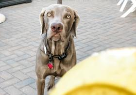 He's grown up so fast, he's not falling for the same shyte I pull on him anymore 🤪🤪#weimaraner #weimsofig #mybebe #dogsofinstagram #dogsplayingfetch [instagram]