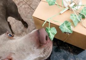Snagged one! I'm excited to try this Easter gift box from @honeyandivy_shop Apparently, so is Sterling… 🤣 #simplesyrup #homemademarmalade #homemadepickles #marshmallows #supportlocal #supportsmallbusiness #weimaraner #weimsofinstagram [instagram]