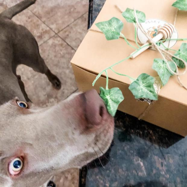 Snagged one! I'm excited to try this Easter gift box from @honeyandivy_shop Apparently, so is Sterling... 🤣 #simplesyrup #homemademarmalade #homemadepickles #marshmallows #supportlocal #supportsmallbusiness #weimaraner #weimsofinstagram