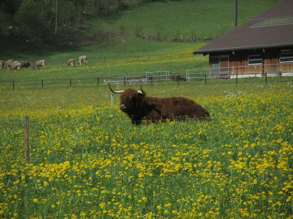 nöd de einzig Büffel im Glarnerland