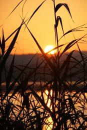 Sonnenaufgang durch Schilf am Greifensee