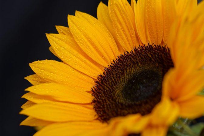 Sonnenblumenblüttenblätterspitzen