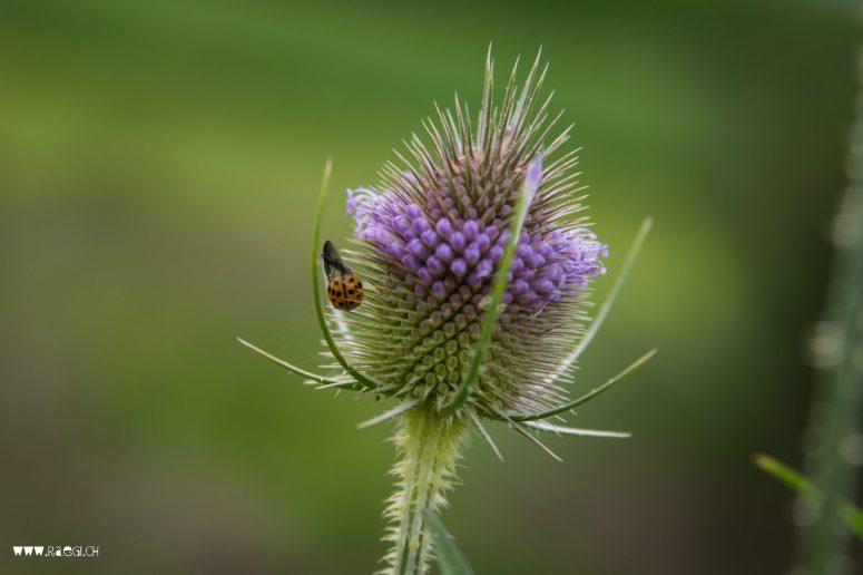 Blüte mit Marienkäfer