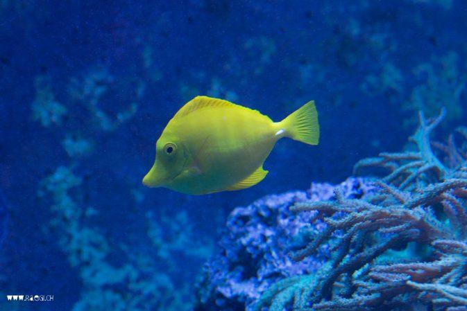 kleiner gelber Fisch