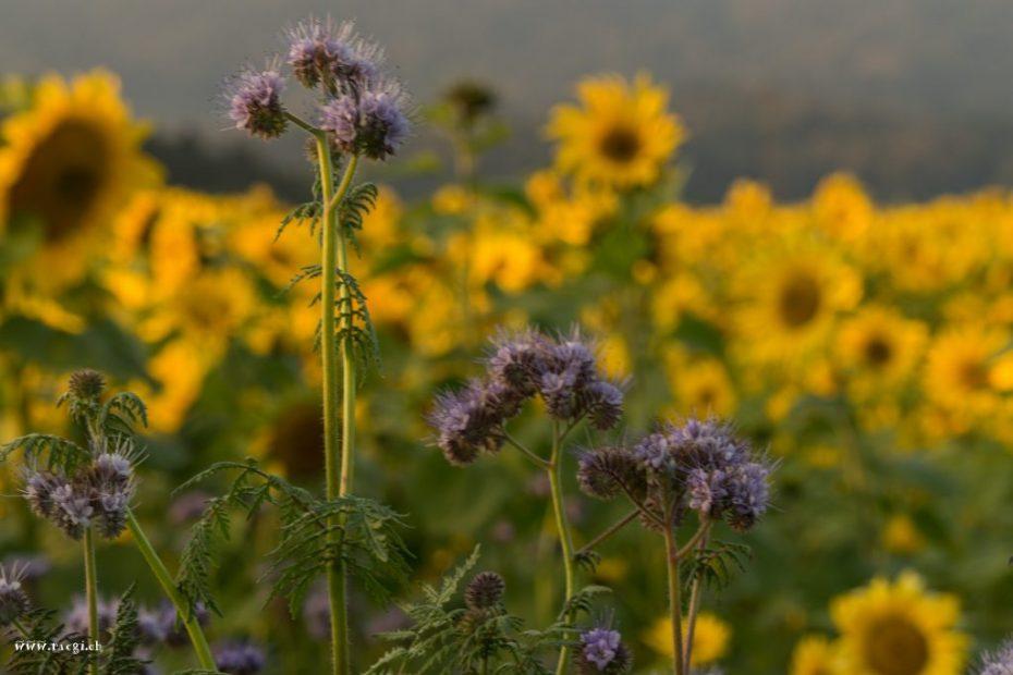 Sonnenblumen und Phacelia
