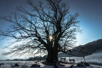 Linde von Linn im Aargau
