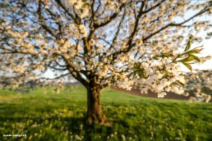 Blühender Kirschbaum im Fricktal