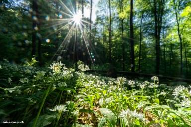 Frühlingserwachen mit Bärlauchfeld
