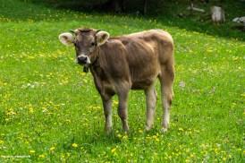 Munteres Rindli im Glarnerland