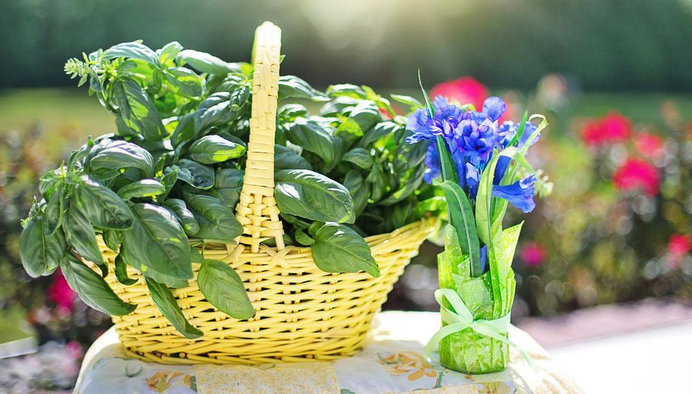Basilico: un concentrato di benessere in una foglia