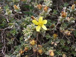 Hypericum aegypticum subsp. webbii