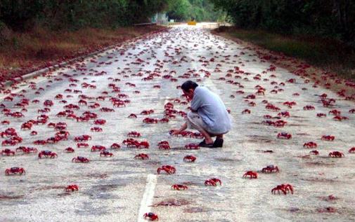 migrating crabs