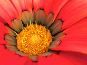Red Flower with Yellow Center