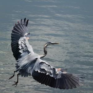 Heron Flying MorgueFile