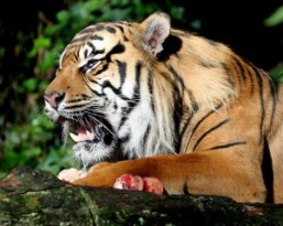 tiger_eating