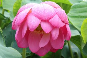 image of bright pink flower drooping to indicate sadness and unhappiness