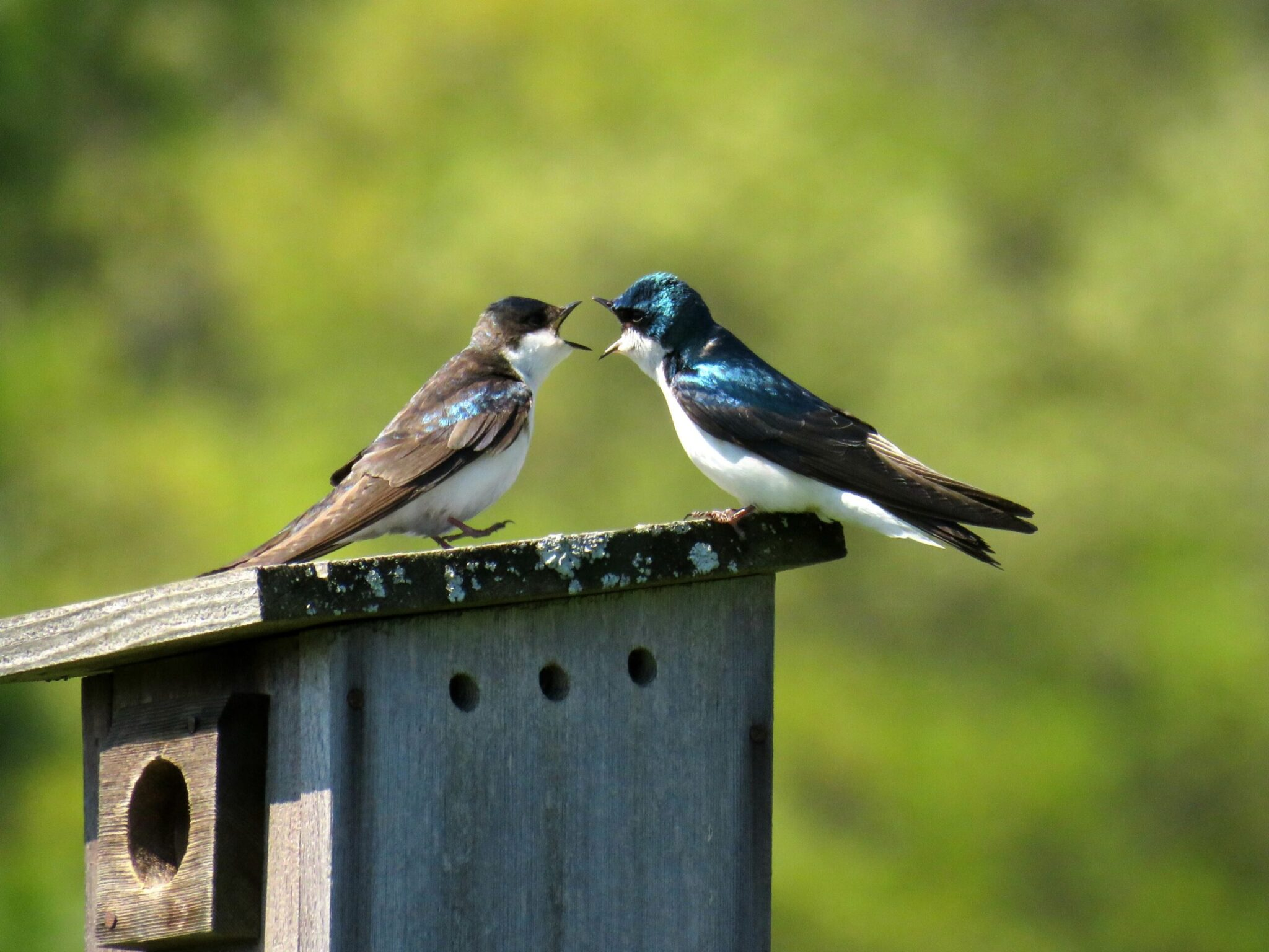 2 birds, one blue, one brown, perched on birdhouse and squawking at each other to represent arguing