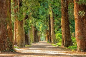 image of rows of trees along a path indicating that wherever you walk around any tree, you lose sight of the whole and can only view from one point of view
