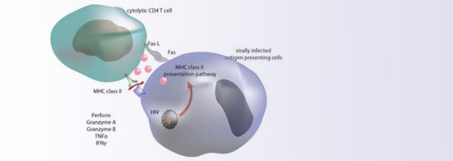 Study finds HIV-specific CD4 cells that control viral levels