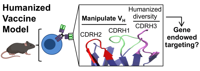 Germline-encoded affinity for cognate antigen enables vaccine-amplification of a human broadly neutralizing response against influenza virus