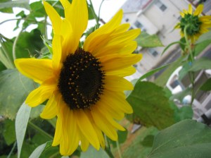 Sunflowers feed bees and people!