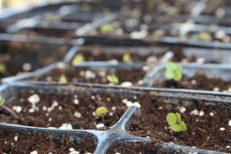 Ragged Jack Kale seed sprouts