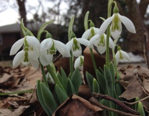 Snowdrops - Snowdrops-one of the first late winter flowers to bloom.  These are valuable to pollinators, especially bees, for their sweet, nutritious nectar.