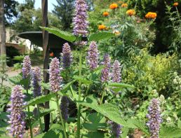 Anise Hyssop in full bloom.