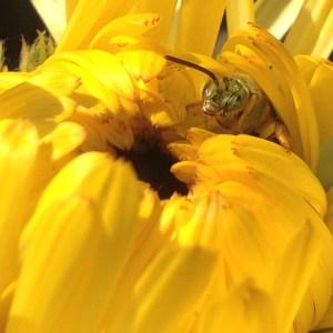 Green Bee in Calendula Bloom