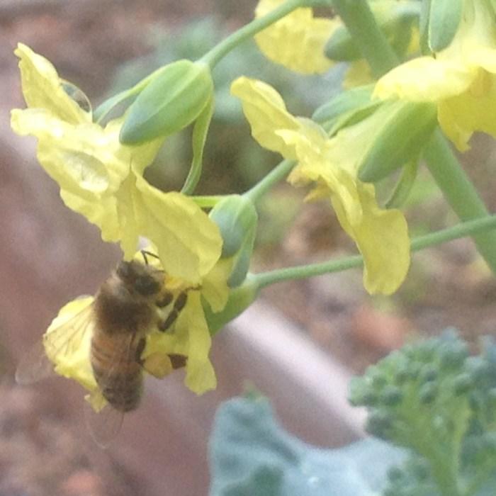 Honeybee Gathering Pollen - December 27, 2015