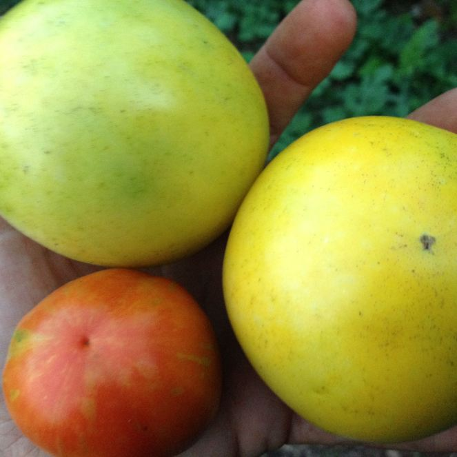 Rainbow tomatoes! Varieties shown here are Manyel and Striped Cavem