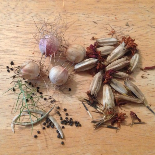 Saving seeds...Cleome (spider flower), Nigella (love-in-a-mist) and Marigold medley (French and African)