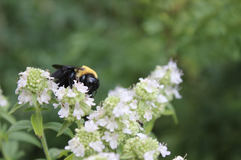 Oregano flower and bumblebee