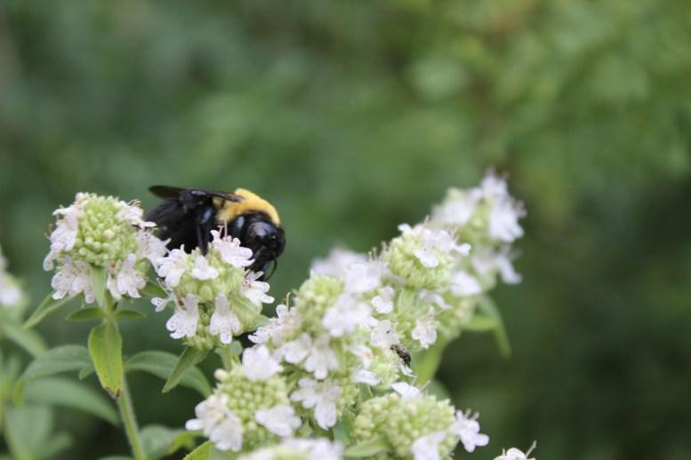 Oregano flower and bumblebee
