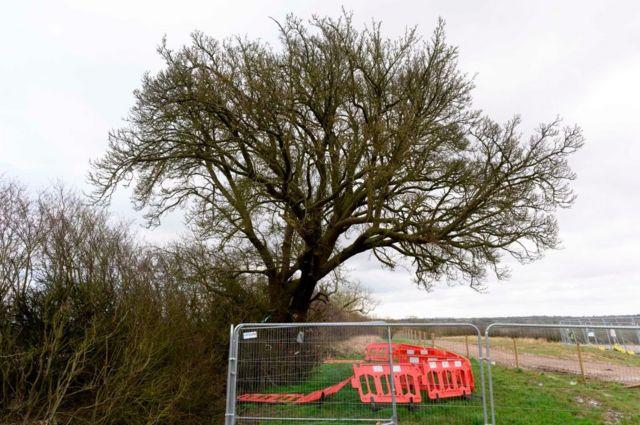 250 yıllık armut ağacı