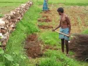 Rakesh plante les goyaviers