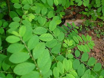 Português: Quebra-Pedra. Phyllanthus niruri