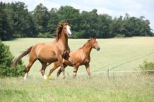 Two chestnut horses running together on meadow