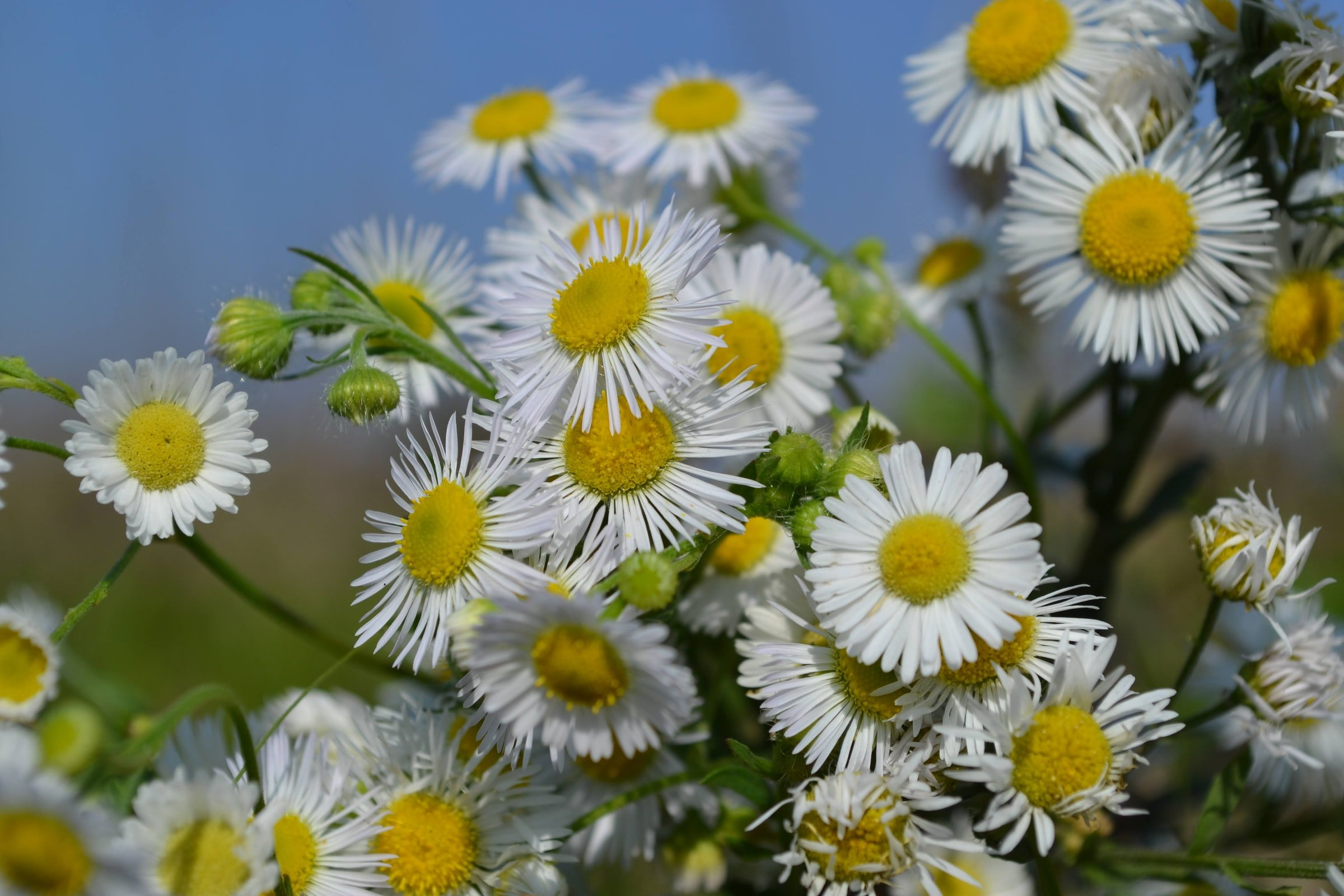 Close up of Chamomile Flowers