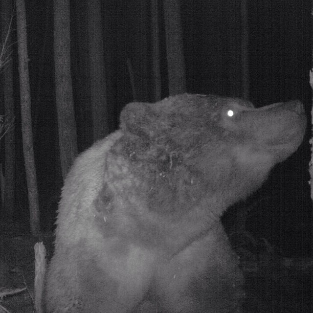 Grizzly on cam
