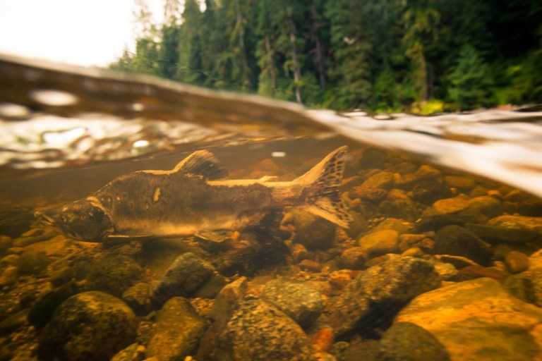 Underwater Salmon