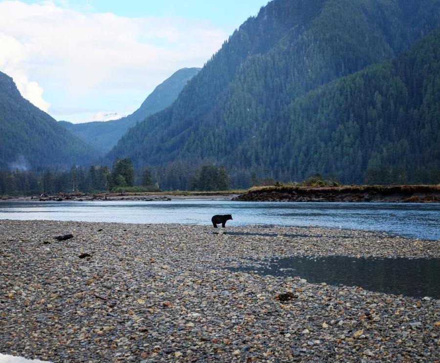 Bear in the shallows in the shadows of mountains in the Great Bear Rainforest.