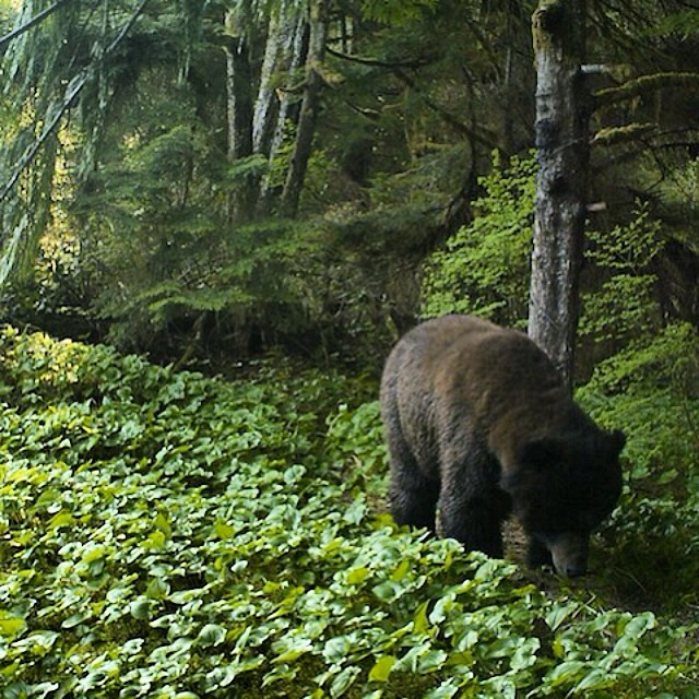 out for a Grizzly bear walking along a path beside the Wanukv river with its head down, surrounded by green ground cover and Wuikinuxv rainforest in the background