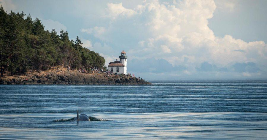 J50 swims toward San Juan Island. Photo by NOAA.