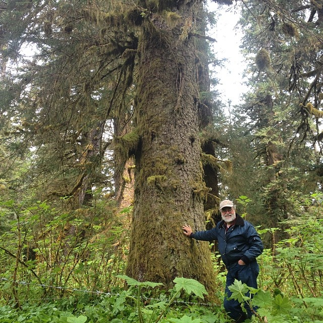 Giant spruce