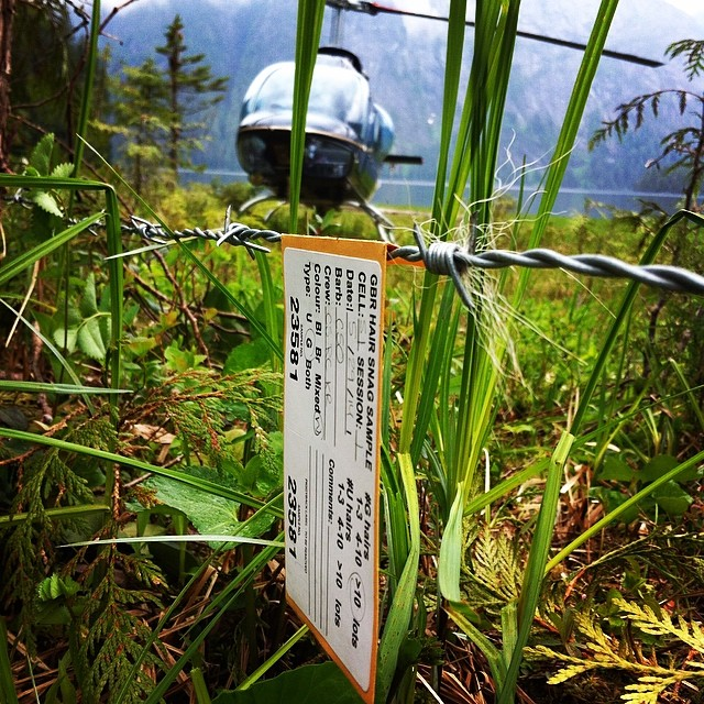 Helicopter hovers in the background og a green field of grass backdropped by misty pale blue sky. In the foreground, extreme closeup of a tuft of white hair from a spirit bear caught in a barbed wire strung up for the purpose by the Raincoast team, and a tag attached to the wire near the hair with small writing on it