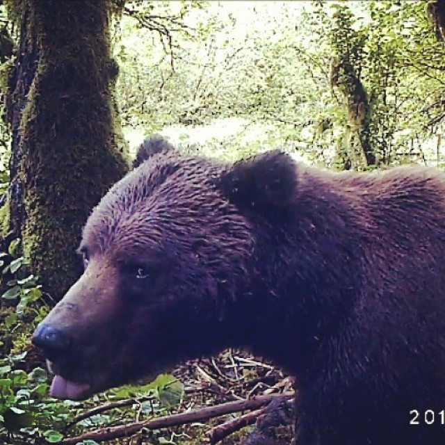 Close up profile shot of a brown grizzly bear caught on cam with the green forest behind