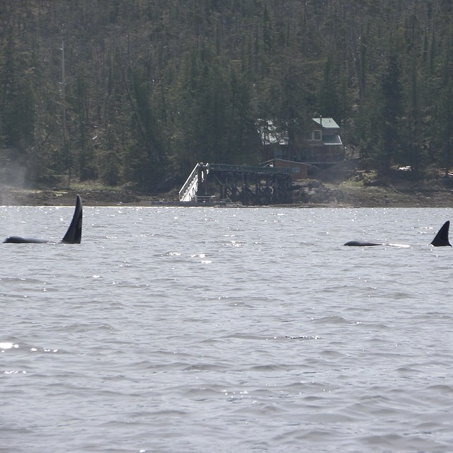 Tail fins and bodies of two orcase visible in the water beside an island