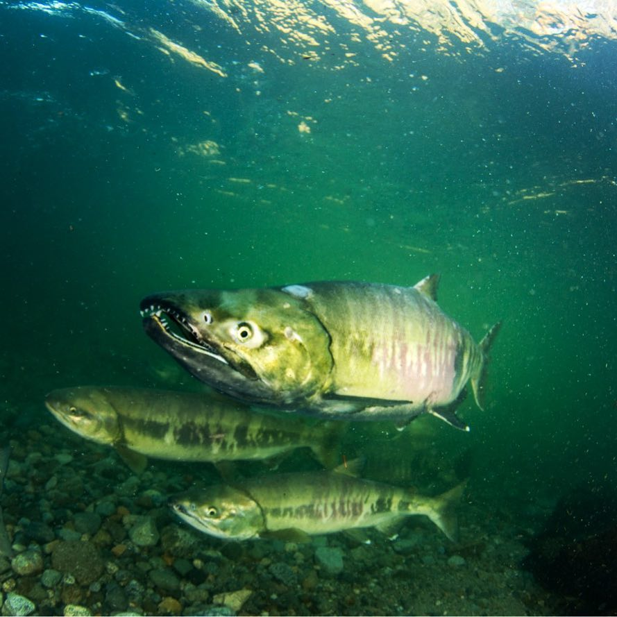 New report released on risk to Lower Fraser river salmon from Trans Mountain